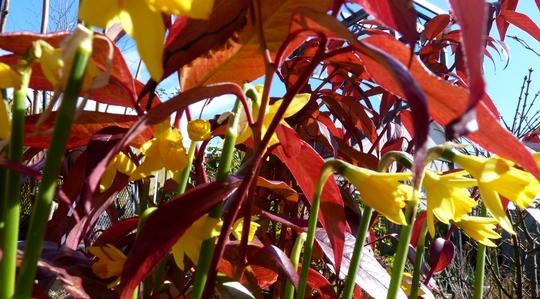Daffodils and Leucothoe...