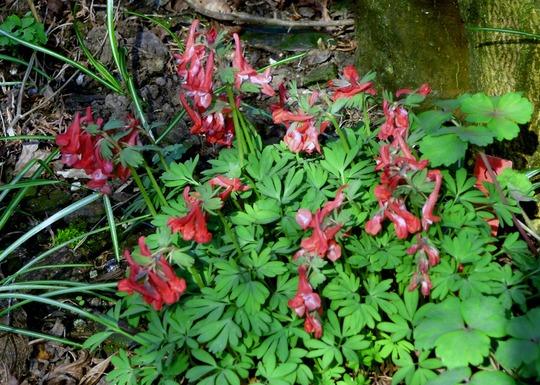 Corydalis Red !