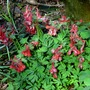 Corydalis_my_red_troughs_002