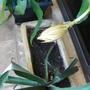 I'm waiting :) (Epiphyllum oxypetalum)