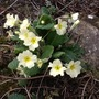 Ahhh, the Primrose!