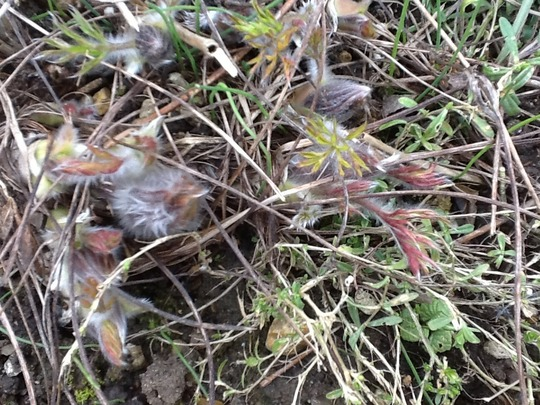 Not Long, hopefully, till Pulsatilla blooms! (Pulsatilla vulgaris (Pasque flower))