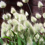 Bunny tail (Pennisetum messiacum)