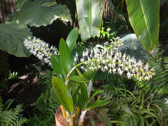 Dendrobium speciosum - King Dendrobium (Dendrobium speciosum)