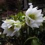 Helleborus orientalis Double queen white (Helleborus orientalis double queen white)