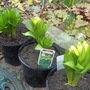 Another bargain from my local nursery ! Crown Imperial Fritillaria