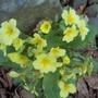 Beautiful Primroses