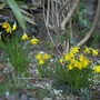At last, more miniature Daffodils! Is Spring really on its way !
