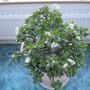 Crassula in flower..