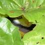 Missy in the rhubarb