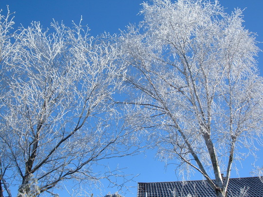 Siver Birches in the frost