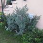 Novembre 2010 (Westringia fruticosa)