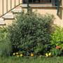 Maggio 2012 (Westringia fruticosa)