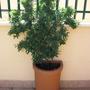 Aprile 2012 (Solanum jasminoides (Potato Vine))