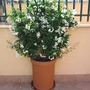 Solanum jasminoides (Potato Vine)