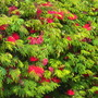 Calliandra tweedii - Mexican Flame Bush Flowering (Calliandra tweedii - Mexican Flame Bush)