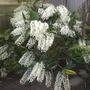 Dendrobium speciosum - King Orchid (Dendrobium speciosum - King Orchid)
