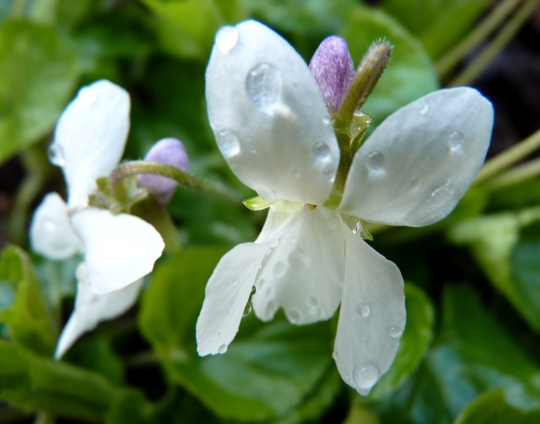 Viola odorata 'Miracle Bride White' (Viola odorata 'Miracle Bride White')