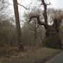 OLD Oak tree!