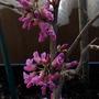 Cercis chinensis 'Don Egolf' (Cercis chinensis)