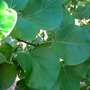 Leaves of the apricot tree