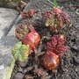 For Yorkshire...Time to tell the truth!!!! (Rheum rhabarbarum (Rhubarb))
