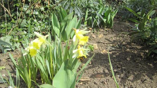 Lone bee yesterday... (Narcissus jonquilla (Jonquil))