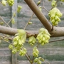 Corylopsis_veitchiana_close_up_2013