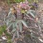 Helleborus x sternii 'Silver Dollar' - 203 (Helleborus x sternii)
