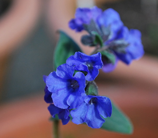 Pulmonaria Blue Ensign.. (Pulmonaria Blue Ensign....)