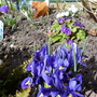 photo of the rockery corner (Iris reticulata &#x27;Pixie&#x27;)