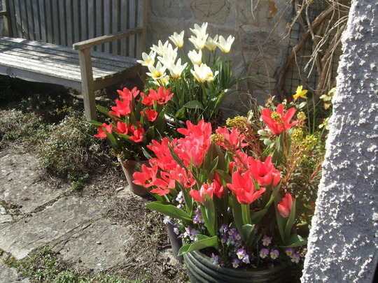 Pots of tulips.