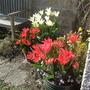 Pots_of_tulips
