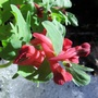 Miracle Corydalis