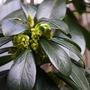 Daphne laureola subsp.philippi (Daphne laureola subsp. philippi)