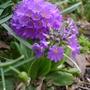 Primula denticulata - 2013 (Primula denticulata)