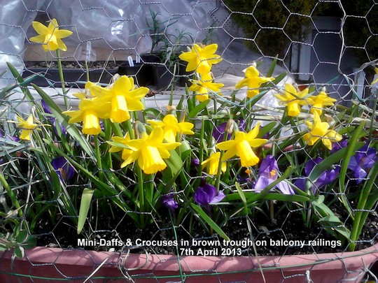 Mini-Daffs & Crocuses in brown trough on balcony railings 07-04-2013 (Daffodil)
