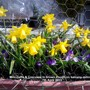 Mini_daffs_crocuses_in_brown_trough_on_balcony_railings_07_04_2013