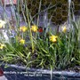Mini-Daffs in green trough on balcony railings 07-04-2013 002 (Daffodil)