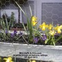 Mini-Daffs in white trough on balcony railings 07-04-2013 003 (Daffodil)