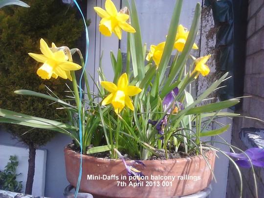 Mini-Daffs in pot on balcony railings 07-04-2013 001 (Daffodil)