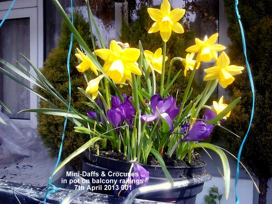 Mini Daffs & Crocuses in pot on balcony railings 07-04-2013 001 (Daffodil)