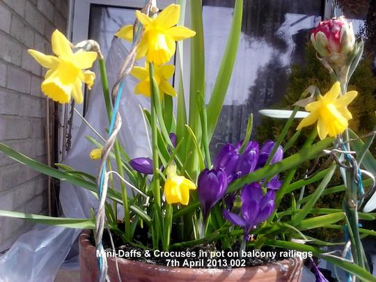 Mini Daffs & Crocuses in pot on balcony railings 07-04-2013 002 (Daffodil)