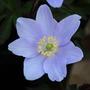 Anemone nemarosa robinsoniana (Anemone nemarosa robinsoniana)