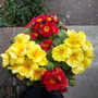 Red & Yellow Primroses
