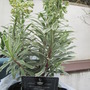 Euphorbia Silver Swan (Euphorbia characias (Spurge))