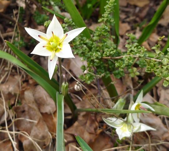 Tulipa turkestanica - 2013 (Tulipa turkestanica)