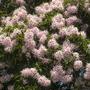 Calodendrum capense - Cape Chestnut Flowers (Calodendrum capense - Cape Chestnut)