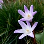 Chionodoxa lucillae &#x27;Pink Giant&#x27; (Chionodoxa luciliae (Glory of the snow))