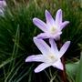 Chionodoxa lucillae 'Pink Giant' (Chionodoxa lucillae 'Pink Giant')